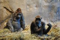 Two Western Lowland Gorillas