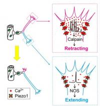 Pathfinding Selection Mechanism of Endothelial Tip Cells