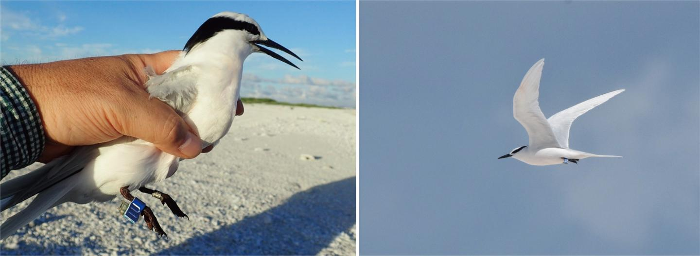 Black-Naped Tern with a Leg-Attached Logger