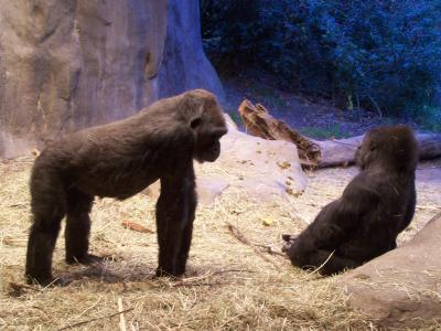 Gorillas at Woodland Park Zoo, Seattle