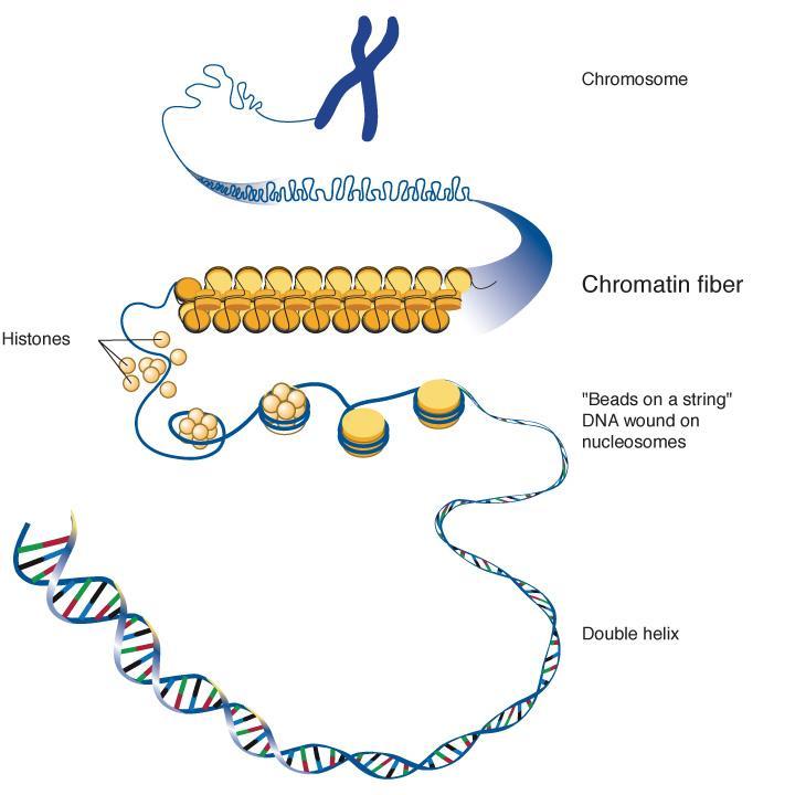 Nucleosomes
