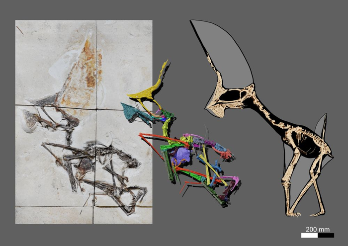 Confiscated fossil turns out to be exceptional flying reptile from Brazil
