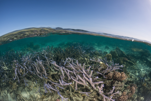 The KhaledAcropora corals at low tide on the Northern Great Barrier Reef