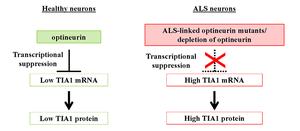 Figure 2. Key TIA1 suppression