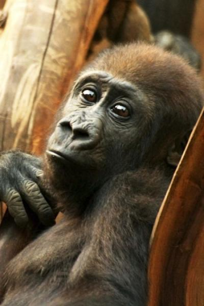 Gorilla Juvenile Portrait