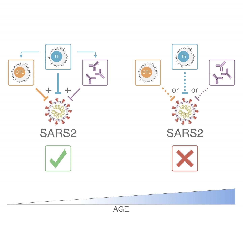 Adaptive immune response to SARS-CoV-2