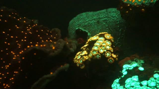 Fluorescence of Corals from Mesophotic Reefs in the Red Sea