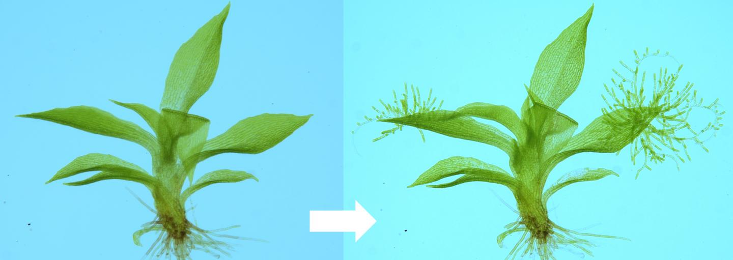 DNA damage causes cells to reprogram themselves into stem cells and regenerate new plant bodies