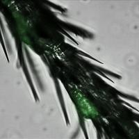 Fluorescent Yeast Cells Present on the Legs of Flies