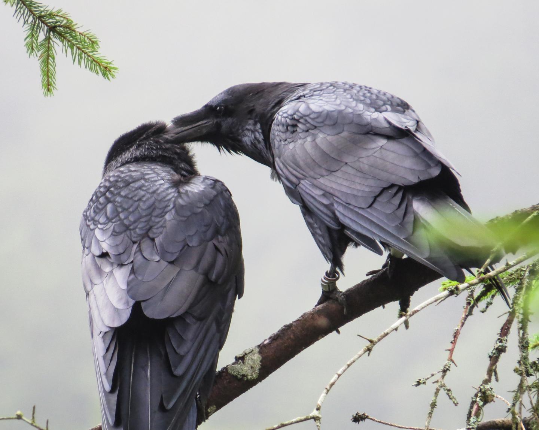 Raven Preens