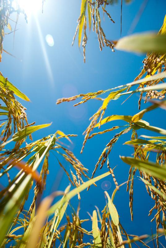 Rice in Sun