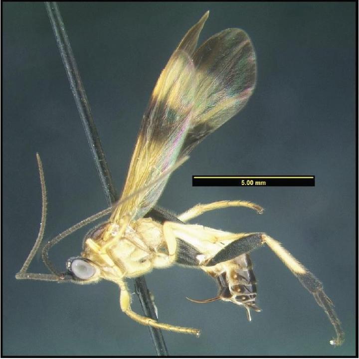 Undescribed Species of Parasitoid Wasp