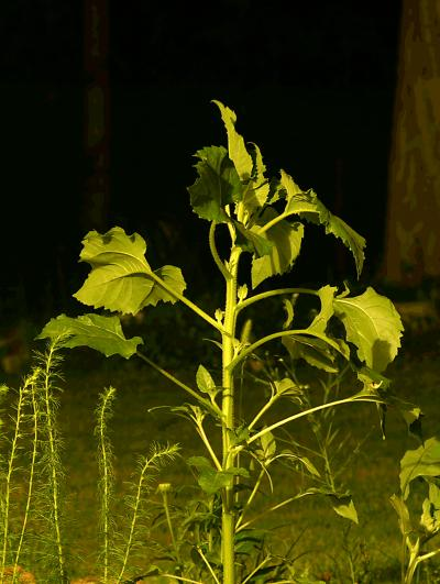 Plant Movement as Seen in a Sunflower (<i>Helianthus annuus</i>) Plant