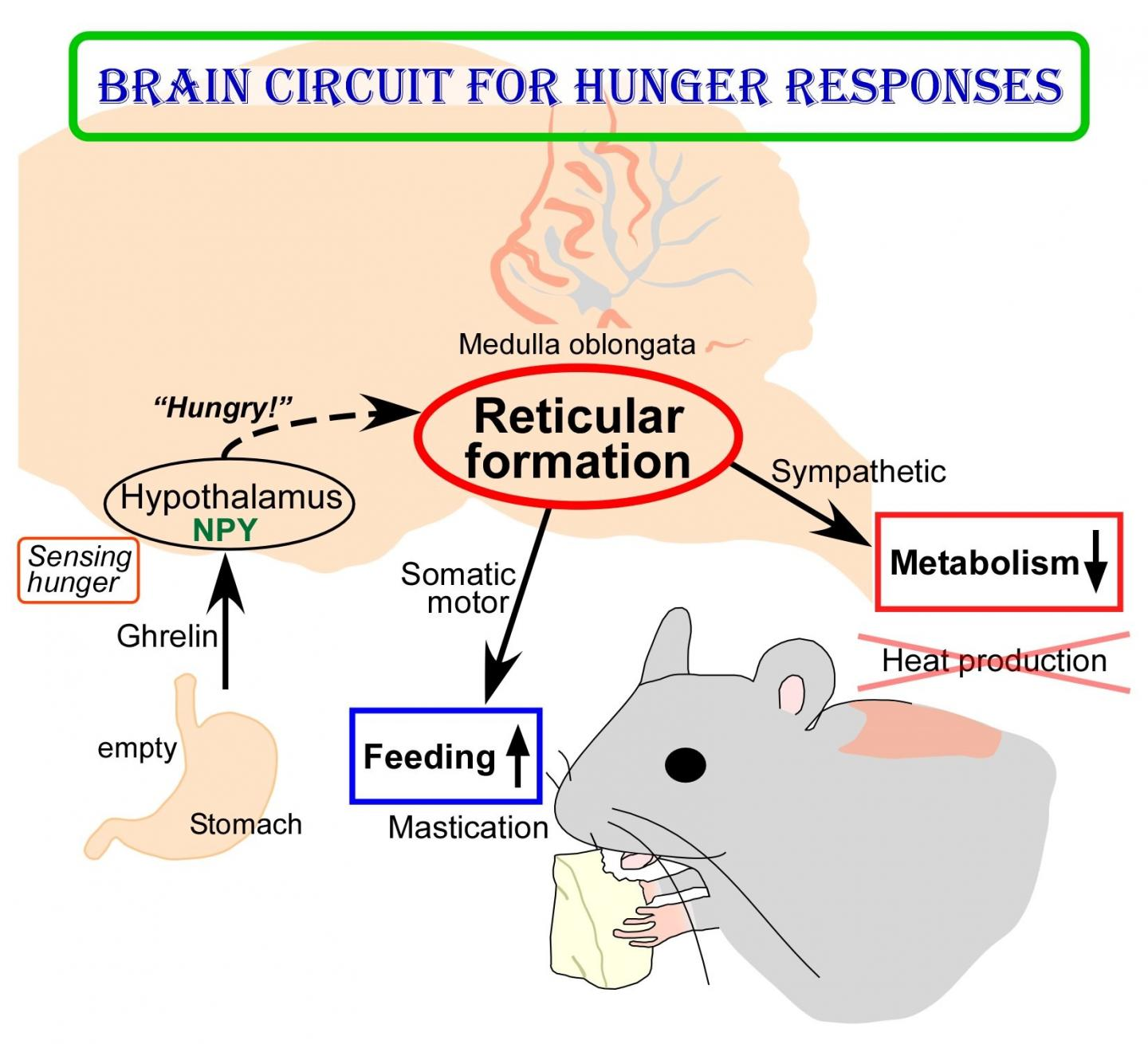 Brain Circuit Mechanism to Survive Hunger