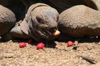Aldabra Tortoise, (<I>Aldabrachelys gigantea</I>) (3 of 3)