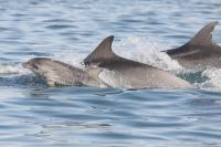 Bottlenose Dolphin Family
