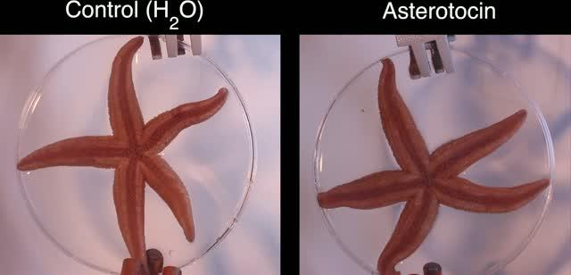 Effect of 'Love Hormone' on Starfish
