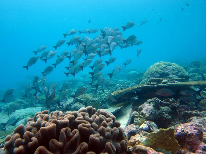 Paddle tail snapper rising into the water column from a coral reef in the Indian Ocean