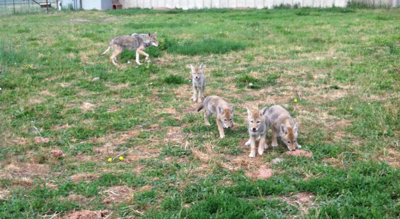 Five-Week-Old Pups