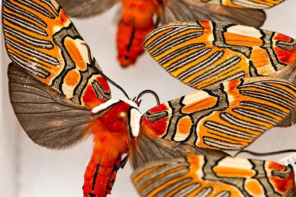 Guatemalan Moths