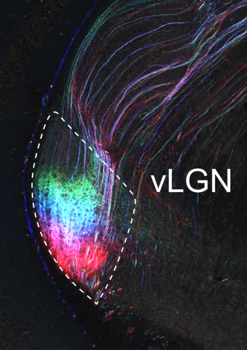 Image of the ventral lateral geniculate nucleus