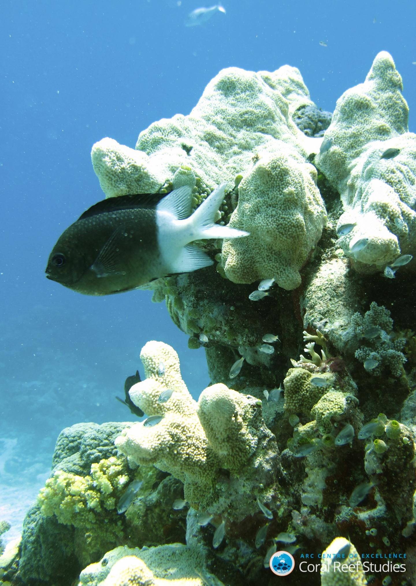 <i>Acanthochromis polyacanthus</i>/ Spiny Chromis