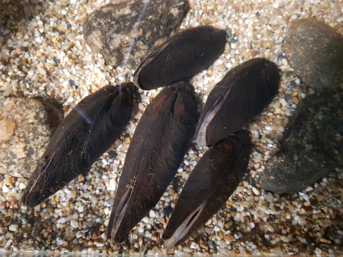 Freshwater pearl mussels at the bottom of the pool