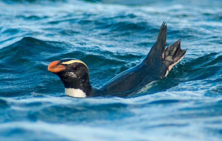 New Zealand Penguins Make Mammoth Migrations, Travelling Thousands of Kilometers to Feed