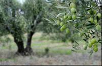 Chalkidiki Olive Tree