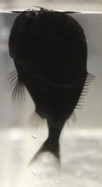 One Specimen of the Ultra-Black Fish Species Anoplogaster cornuta