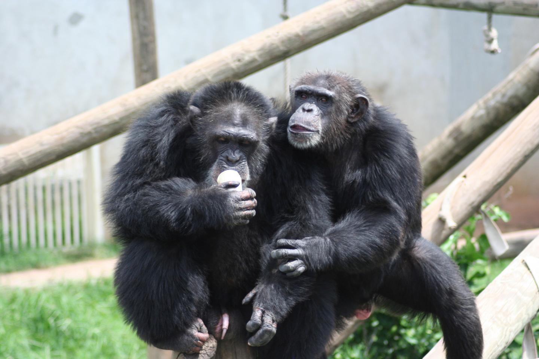 Chimpanzees Jane Tash and Nina
