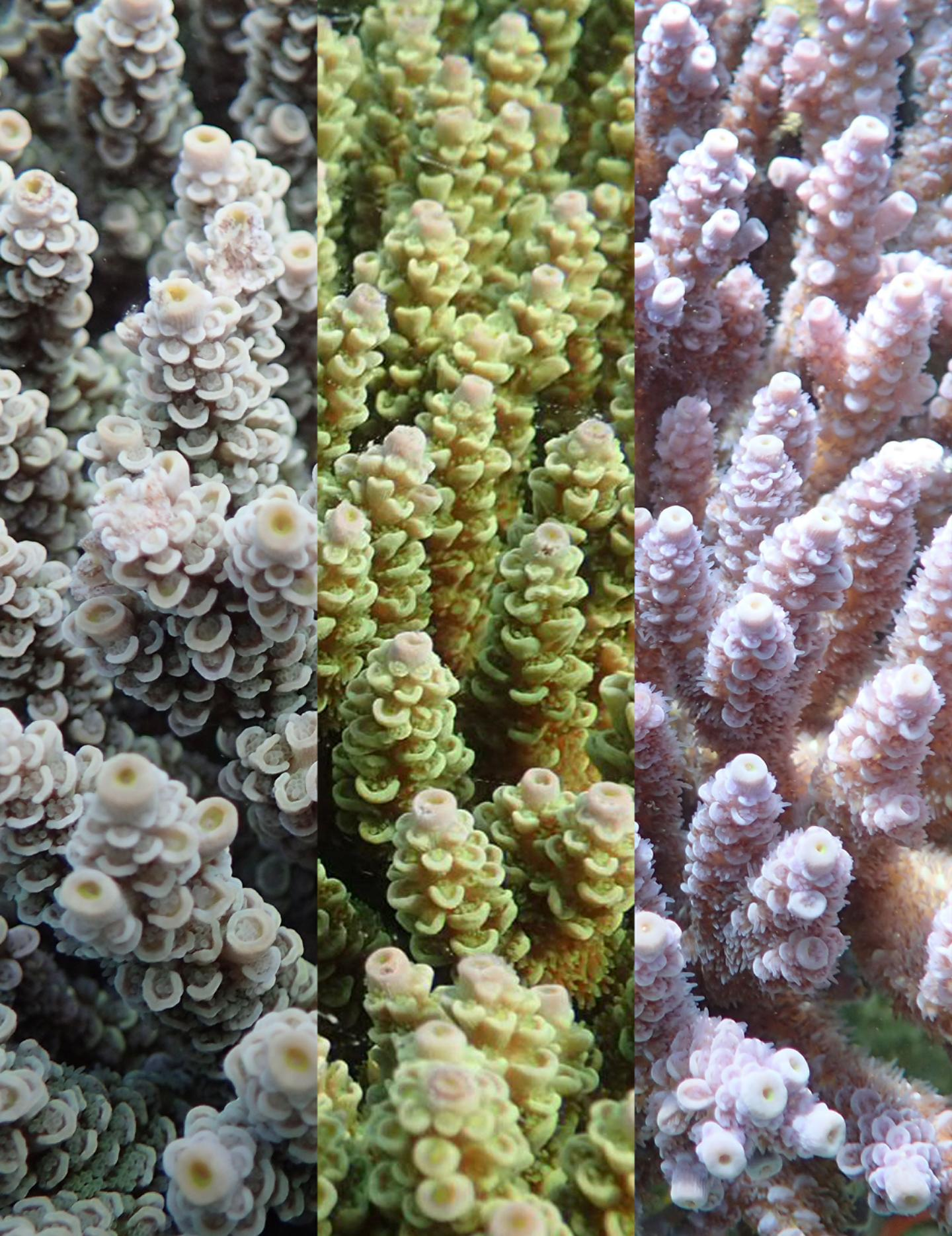 The three color morphs of Acropora Tenuis
