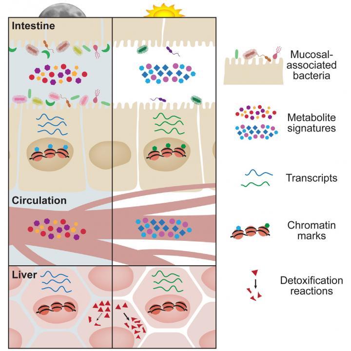 Oscillations in Microbial Localization and Circadian Rhythms