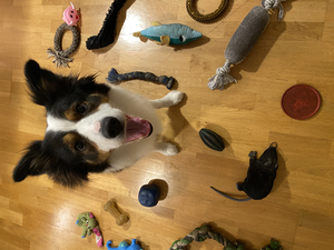 Whiskey among his toys