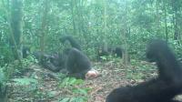 Wonga Wongue chimpanzees
