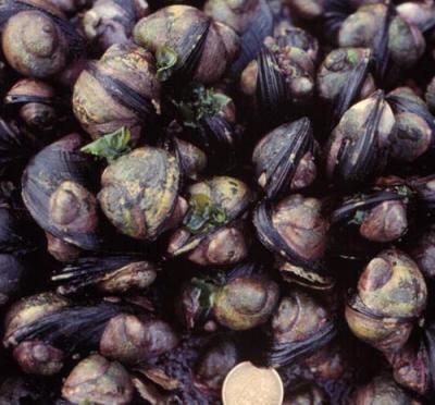 <i>Crepipatella dilatata</i>