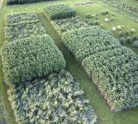 Miscanthus vs. Switchgrass
