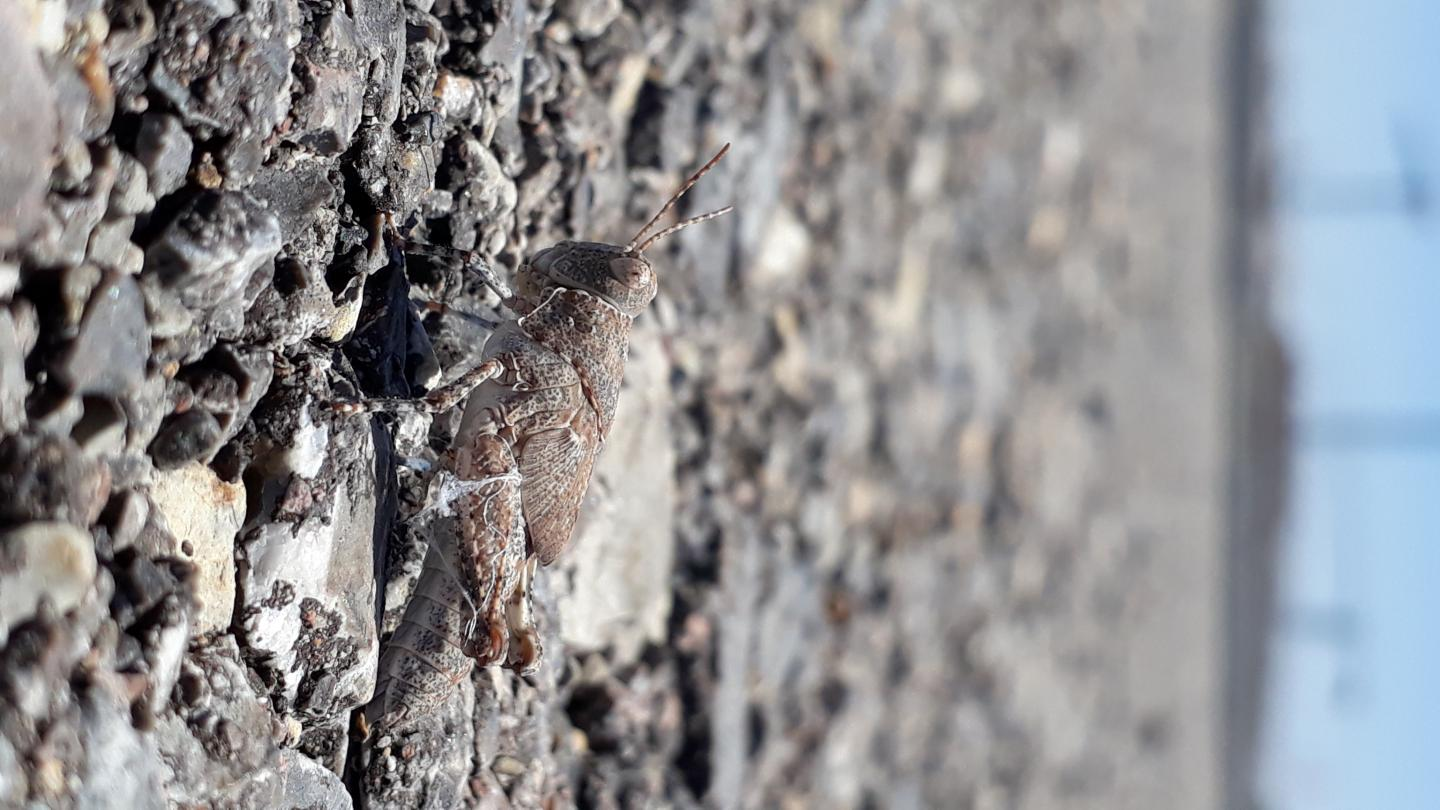 Grasshoper Trying to Camouflage