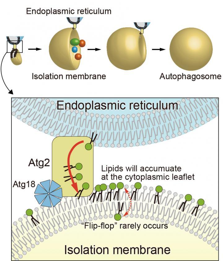 Autophagosome formation