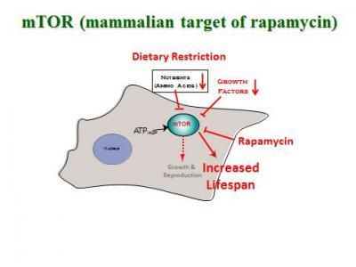 Mechanism of Rapamycin