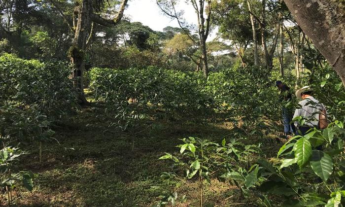 Shade-grown coffee farm in Veracruz