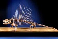 Skeleton of Dimetrodon