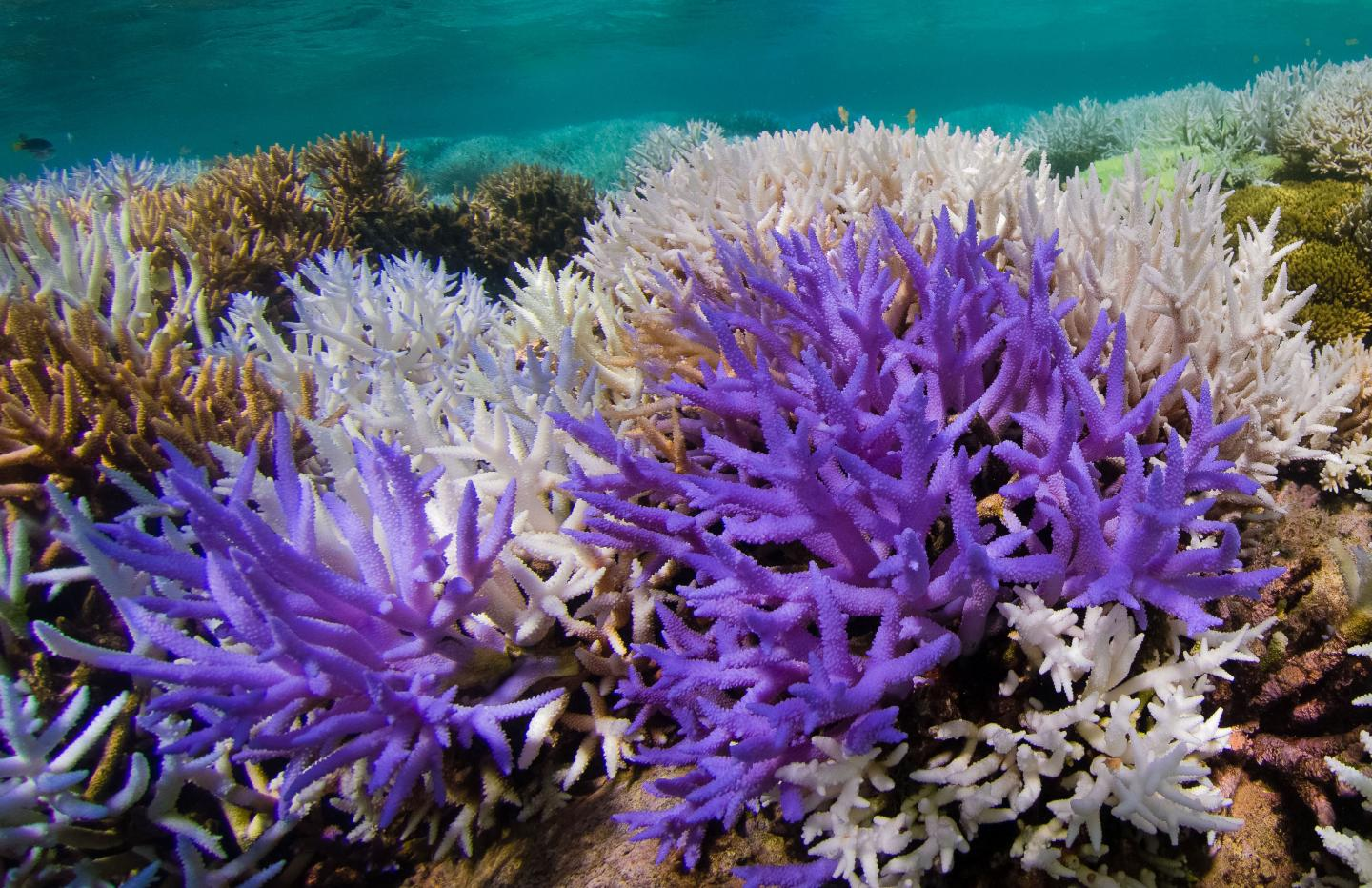 Acropora Corals with Colourful Bleaching
