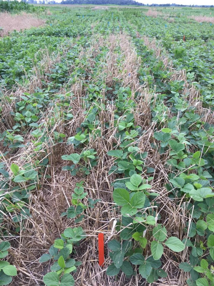 Cereal Cover Crops