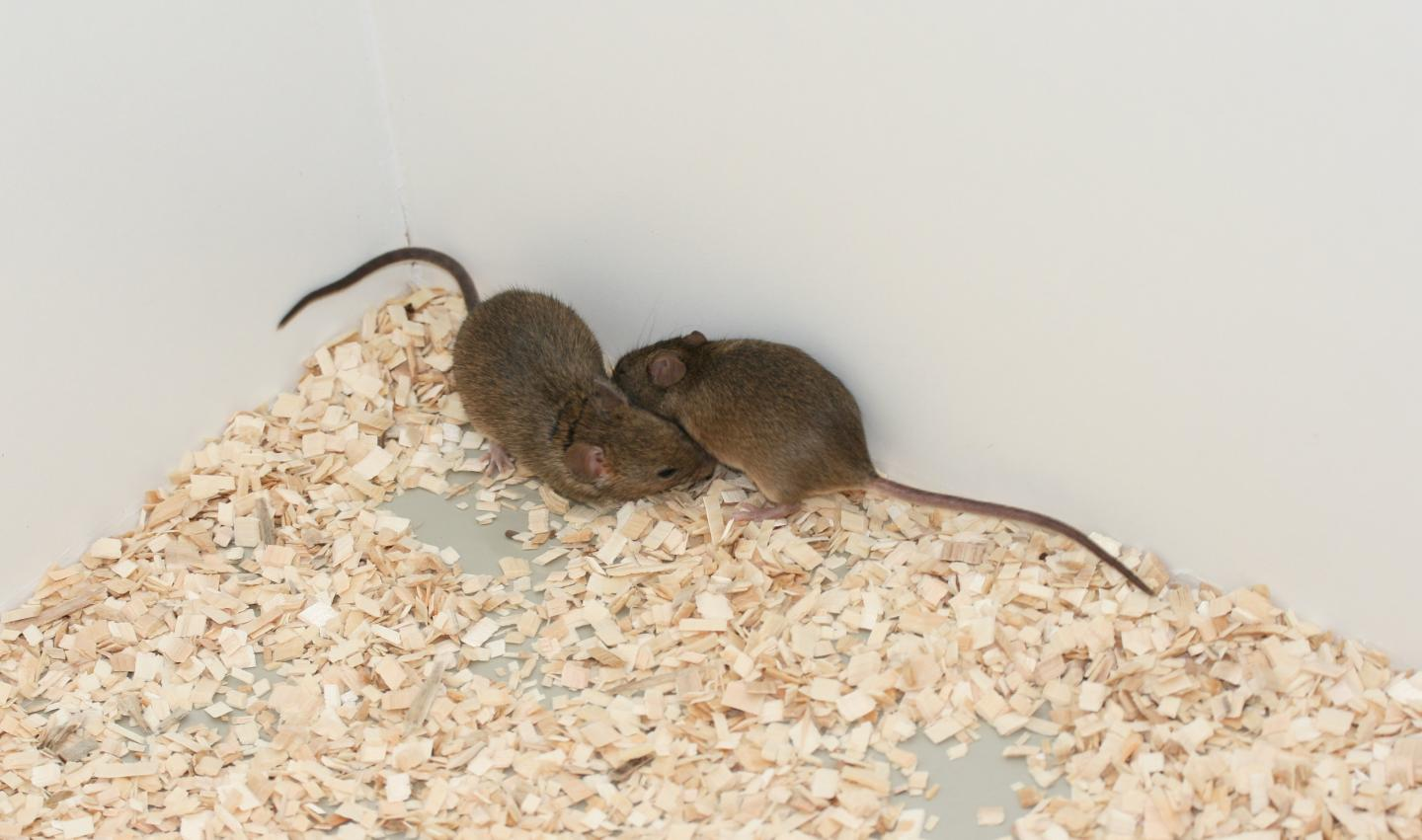 Mice and Kin Recognition