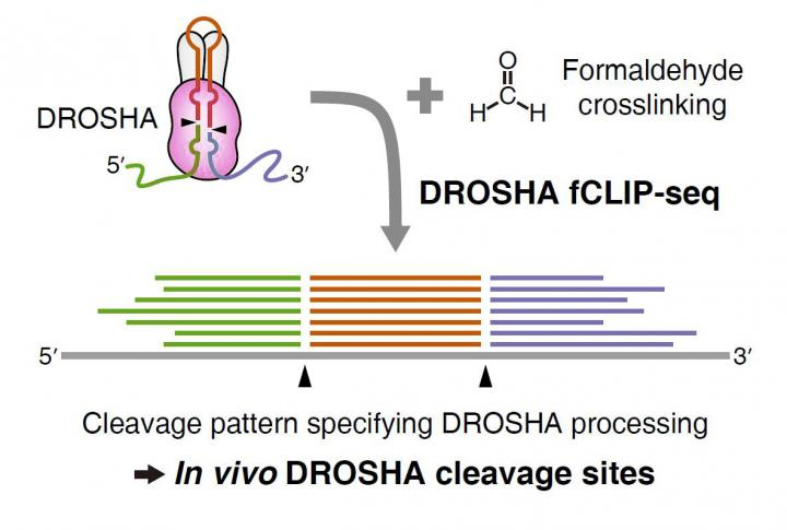 Illustration of the New fCLIP-seq Method to Study What and Where DROSHA is Cleaving Directly From th