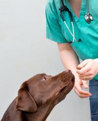 Labrador Retriever (3 of 3)