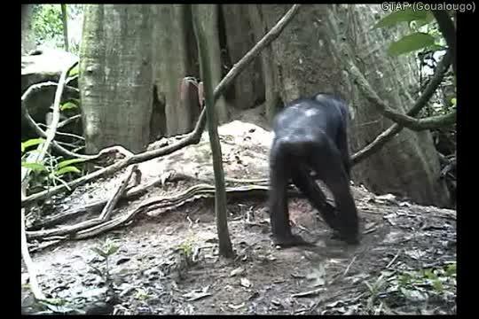 Goualougo chimpanzees