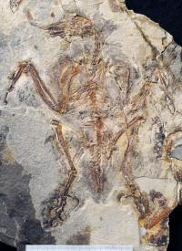 Photograph of <i>Sulcavis geeorum</i>
