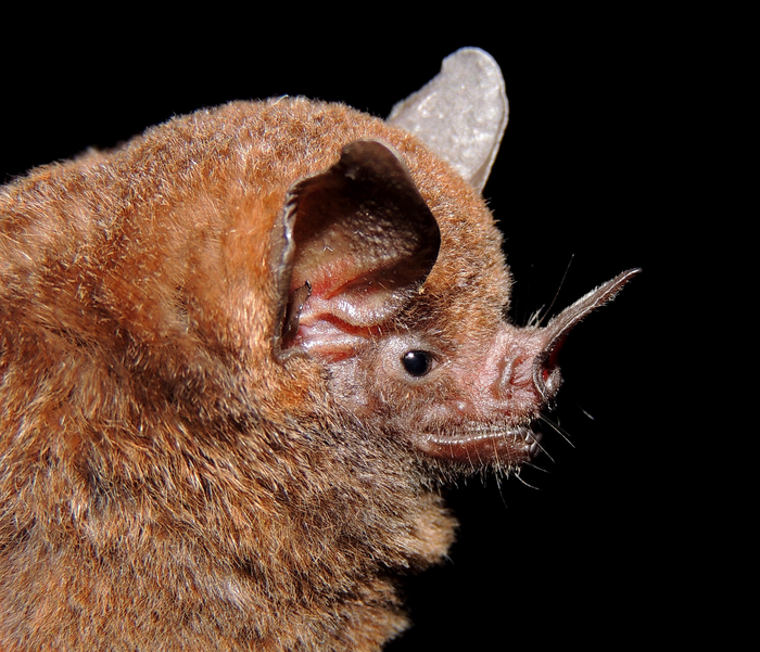 A short-tailed fruit bat